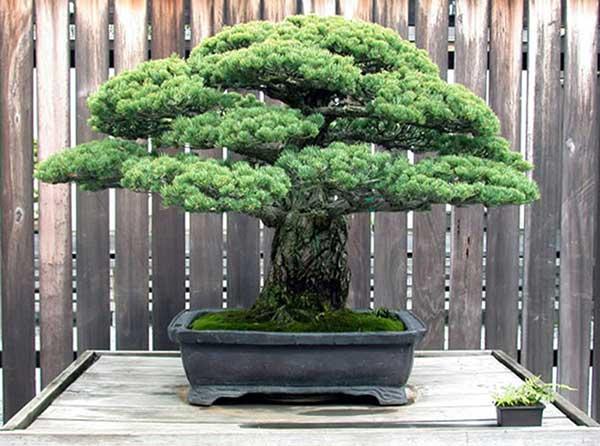 Các loại cây tùng trong phong thủy và cách trồng