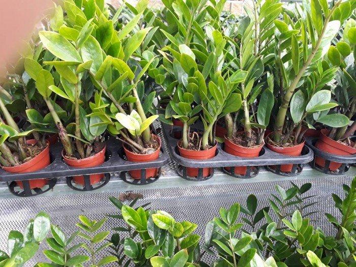 Những loại cây phong thủy giúp gia chủ hút tài lộc đáng lựa chọn