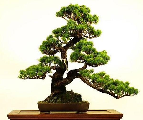 Ý nghĩa của cây tùng trong phong thủy nội thất