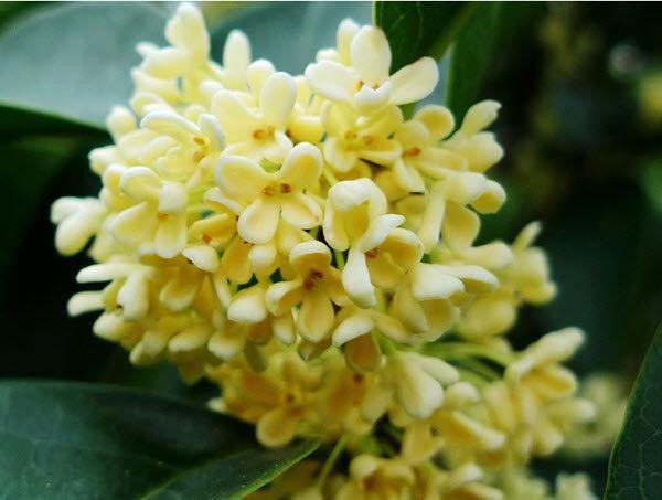 Cây hoa quế cho gia chủ mệnh thổ